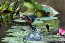 Chongqing Park Kingfisher