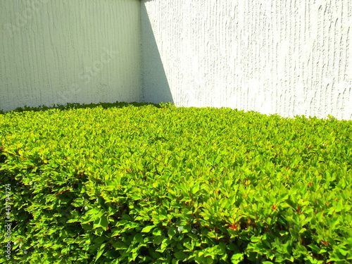 Fotografia 4月の朝の植え込みのドウダンツツジと白壁