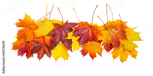 Obraz na plátně Creative autumn composition border - group of natural maple leaves of yellow, orange, red, burgundy colors  isolated on white background