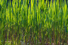 A Green Reed Backlit By The Sun Grows In A Swamp By A Pond.