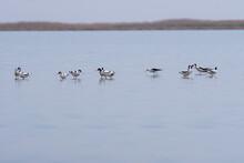 Recurvirostra Avosetta Walk On Salt Lake Bolsoi Liman. Family Pied Avocet Walk In Lake, Volgograd Region, Russia.