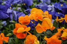 Flores . Pensamientos ,Flores De Primavera Criadas En Invernaderos
