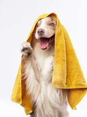 wet dog after shower. Border collie with yellow towel. Pet grooming