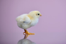 Isolated Portrait Of A Small Fluffy, Just-born Yellow Chicken On A Lilac Background With A Reflection On The Table. The Chick Stands And Looks With Interest