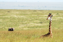 Giraffe Resting In The Long Grass Of The Masai Mara With An Elephant In The Background