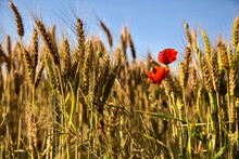 Poppies Growing Among Ears Of Wheat In Summer At Sunset Seen Up Close