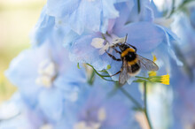 A Bumblebee On A Blue Delphinium Flower Macro