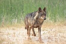 Iberian Wolf (Canis Lupus Signatus) Walking Through Waterlogged Ground.