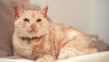 Light Brown Or Beige Cat With Green Eyes, Resting On The Bed