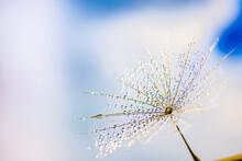 Morning Dew On Dandelion