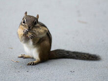 Chipmunk With Peanut In Mouth