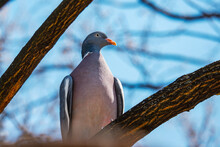 Proud Looking Pigeon Sitting On A Tree
