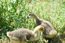 Two Small Geese Eating  Grass ,rural Wildlife Photo