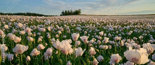 Fotografie, Obraz Wihite poppy field under sunset light