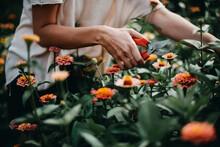 Female Hands Cutting Zinnias Flowers