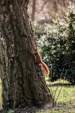 Squirrel Climbing Down Tree