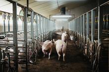 Indoor Pig Farm