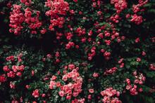Pink Rose Vine Background