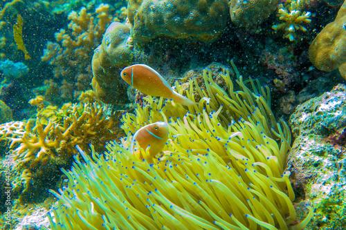 Obraz na plátně セジロクマノミ Orange skunk clownfish