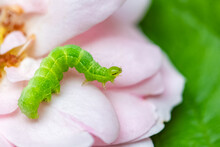 A Green Caterpillar On Rose Petals, Colorful Insect In The Garden
