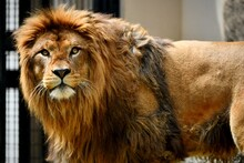 Male Lion In The Zoo