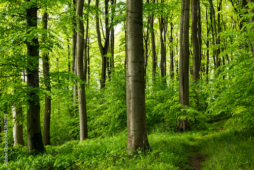 Fotografie, Obraz Forest path in a beautiful springtime forest with mighty beech trees, near Goldbeck, Extertal, Teutoburg Forest, North Rhine-Westphalia, Germany
