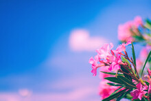 Soft Focused Bright Pink Oleander Flowers With Blue Sky And Pink Clouds Background. Romantic Summer Sunny Day Tropical Nature Floral Bloom Background. Copy Space, Vacation Vibes.