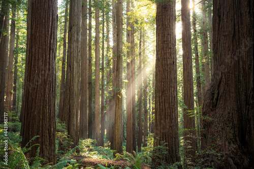 Murais de parede Sunbeams in the Redwoods, Jedediah Smith State Park, Redwoods National Park, Cal