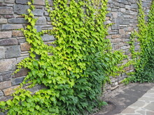 Old Brick Wall Entwined With Ivy