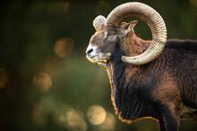 Big Mufflon Bucks, Standing In Their Habitatm European Forest