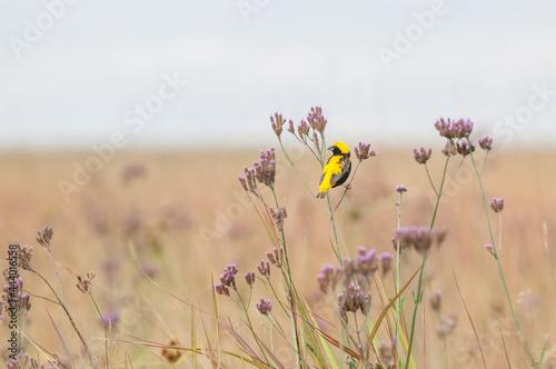 Foto Yellow Bishop on a Flower Stem