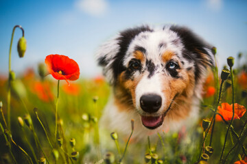 Cute puupy dog in flowers meadow. Portrait of young australian shepherd looking at camera.