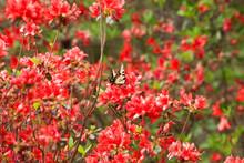 Monarch Butterfly On Azalea Blooms