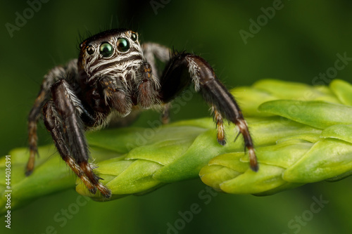 Hairy, black jumping spider sits on a thuja twig Fototapet