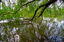 Die Äste Einer Trauerweide Hängen In Einen See