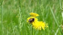 Yellow Dandelion Flowers And Big Bumblebee.