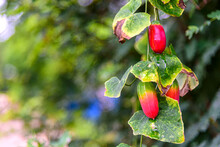 Ripe Fruits Of Coccinia Grandis Or Ivy Gourd Hanging On The Vine In Nature.