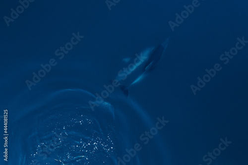 Fotografie, Obraz Aerial view of couple bottlenose dolphins in sea