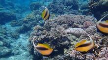 Red Sea Bannerfish (Heniochus Intermedius) Undersea, Red Sea, Egypt, Sharm El Sheikh, Nabq Bay