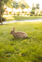 Cute European Rabbits Grazing Grass