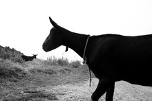 Silhouette Of Two Goats