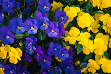 Closeup Of Purple And Yellow Pansies