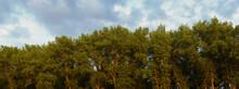 Tree Tops On Summer Nature On Sunset