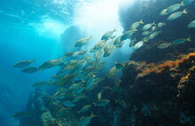 School Of Fish Underwater In The Sea (Sarpa Salpa), Mediterranean, Javea, Alicante, Valencia, Spain