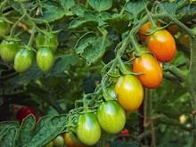 Pomodorini Verdi Nell' Orto.