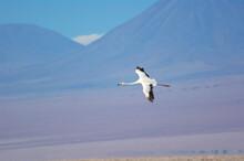 雄大なアンデスを背景に飛ぶフラミンゴ