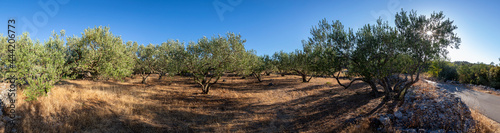 Obraz na plátně panoramic view of olive grove on the island Solta, Croatia