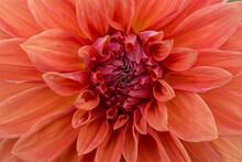 Код стоковой фотографии без лицензионных платежей: 1168252474  Floral Abstract Background Or Wallpaper. Orange Dahlia Close-up