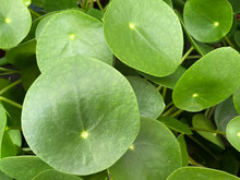 Top View Closeup Of Isolated Green Circular Shape Plant Leaves (pilea Peperomioides, Focus On Left Big Leaf)