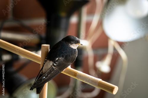 Tableau sur Toile Little swallow sitting on balkony, keeping birds in captivity